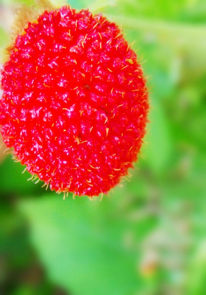 The Rarest Wild Raspberry Of The Philippines
