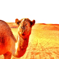 The Camel Corral In The Desert