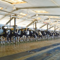 "Getting Intimate with Cows at Almarai Company's Al Danah Farm in the ""Milk Road"""