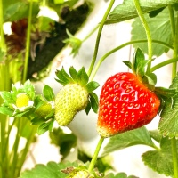 A Transitory Taste of The Philippines at Strawberry Farm in Al Kharj